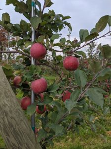 Evercrisp harvested northeast of Grand Rapids, 10/25/2019