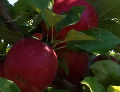 What's with all the Honeycrisp strains?